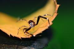 Makro- fotografia mała skokowa pająka Salticidae rodzina, patrzeje prosto w kamerę obraz stock