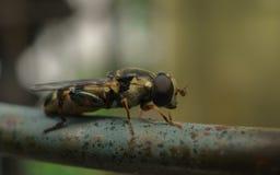 Makro- fotografia malutki Hoverfly na metalu poręczu Zdjęcie Royalty Free