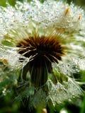 Makro- fotografia mokrzy dandelion ziarna Zdjęcie Stock