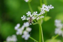 Makro- fotografia mrówka na białym kwiacie Mrówki zbliżenia czołganie na kwiacie na zielonym tle Zdjęcie Royalty Free
