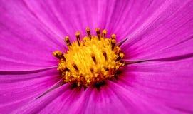 Makro- fotografia piękny menchia kwiat obrazy stock