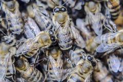 Makro- fotografia pszczoły Taniec miodowa pszczoła Pszczoły w pszczoła roju na honeycombs Obrazy Stock