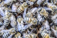 Makro- fotografia pszczoły Taniec miodowa pszczoła Pszczoły w pszczoła roju na honeycombs Obrazy Royalty Free
