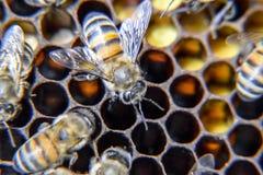 Makro- fotografia pszczoły Taniec miodowa pszczoła Pszczoły w pszczoła roju na honeycombs Zdjęcia Stock