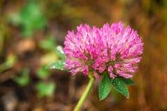 Makro- fotografia różowa koniczyna z dewdrops obraz royalty free