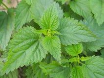 Makro- fotografia rośliny pokrzywa Pokrzywa z puszystymi zielonymi liśćmi T?o ro?liny pokrzywa r w ziemi zdjęcie stock