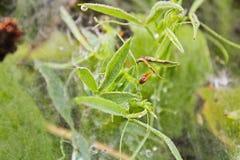 Makro- fotografia trawa z pajęczyną i kropla woda fotografia stock