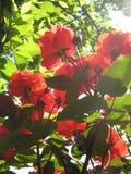 Makro- fotografia z dekoracyjnego tekstury tła kwiatów pięknymi różami z czerwonymi płatkami w świetle słonecznym Zdjęcie Stock