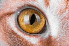Makro- fotografie kotów oczy, czerwony kot Fotografia Stock