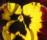 Makro- fotografii abstrakcjonistycznego tła kwiatu płatków jaskrawa piękna altówka tricolor Obraz Stock