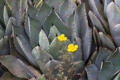 Makro- fotografii agawy liście w Hiszpania de Lloret mars Zdjęcia Stock