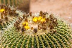 Makro- fotografii agawy liście w Hiszpania de Lloret mars Obraz Royalty Free