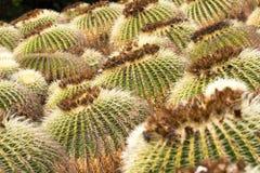 Makro- fotografii agawy liście w Hiszpania de Lloret mars Fotografia Royalty Free