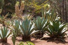 Makro- fotografii agawy liście w Hiszpania de Lloret mars Zdjęcia Royalty Free