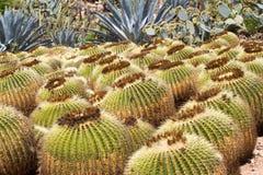Makro- fotografii agawy liście w Hiszpania de Lloret mars Obraz Stock