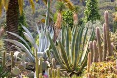 Makro- fotografii agawy liście w Hiszpania de Lloret mars Zdjęcie Stock