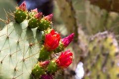 Makro- fotografii agawy liście w Hiszpania de Lloret mars Fotografia Stock