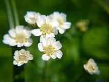 Makro- fotografii mali biali kwiaty Obraz Royalty Free