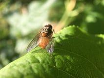 Makro från en fluga hans vingar Fotografering för Bildbyråer