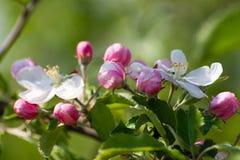 Makro Frühlings-Apfelblumen in einem Garten Lizenzfreie Stockbilder