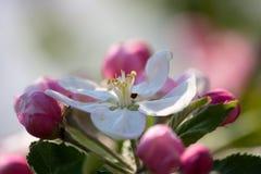 Makro Frühlings-Apfelblumen in einem Garten Lizenzfreie Stockfotos