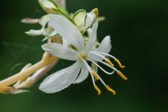 Makro för blomning för spindelväxt Arkivbilder