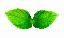 Makro frische Grünblätter lokalisiert auf weißem Hintergrund Lizenzfreie Stockbilder