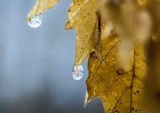 Makro fryst liten droppe på det gula bladet Arkivfoton