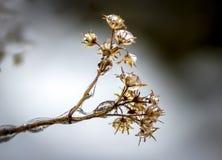 Makro fryste små droppar på nedgångblomman Royaltyfri Foto