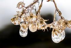 Makro fryste små droppar på nedgångblomman Arkivbild