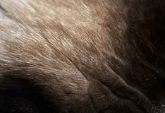 Makro- futerkowa tekstura od kota ` s głowy Obrazy Stock