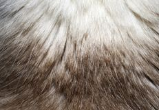 Makro- futerkowa tekstura od kota ` s plecy Zdjęcia Stock