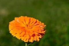 Makro gelbe Blume im Garten Unscharfes Foto Abschluss oben Stockfotografie