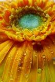 Makro- Gerbera kwiatu tapeta Obrazy Stock