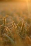 Makro goldener Weizen während des Sonnenuntergangs lizenzfreie stockfotografie