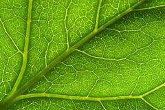 Makro grüne Blattader lizenzfreie stockfotos