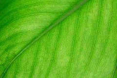 Makro grüne Blattbeschaffenheit Stockbilder