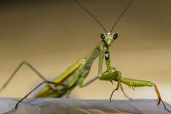 Makro grüne Gottesanbeterin gesehen von der Front Stockfotografie