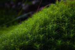 Makro grünes Moos Stockfotos