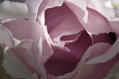 Makro große schöne rosa Pfingstrosenblume: die Blumenblätter, die leichte glatte Wellen kurven, schaffen natürliche Abstraktion Stockfoto