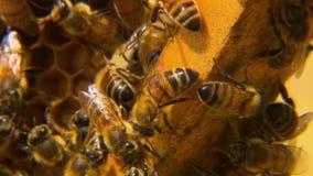 Makro- honeybees blisko honeycomb zbiory