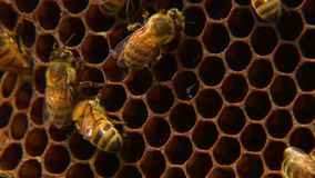 Makro- honeybees pracuje na ich honeycomb zbiory wideo