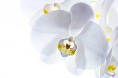 Makro- i zakończenie fotografie orchidea Zdjęcia Stock