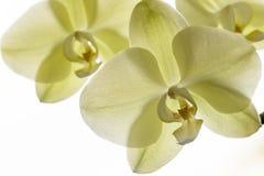 Makro- i zakończenie fotografie orchidea Zdjęcie Royalty Free