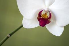 Makro- i zakończenie fotografie orchidea Zdjęcia Royalty Free