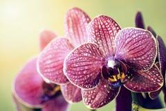 Makro- i zakończenie fotografie orchidea Obrazy Royalty Free