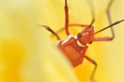 Makro- insekt Zdjęcia Royalty Free