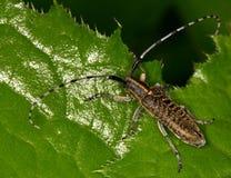 Makro- insekt: Agapanthia villosoviridescens Zdjęcia Royalty Free
