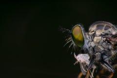 Makro- insekt komarnicy rabuś komarnica, Asilidae, drapieżnik (,) Zdjęcie Royalty Free