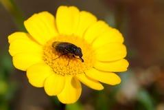 Makro- insekt na żółtym kwiacie w japończyka ogródzie Zdjęcia Stock